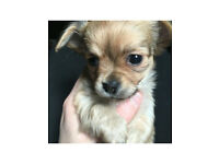 Male chihuahua for sale 6 weeks old tan puppy pup