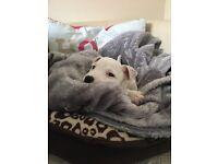 9 week old Parsons Puppy