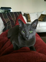 Pure Bred Russian Blue for Sale