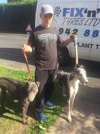 Deerhound x collie greyhound for sale