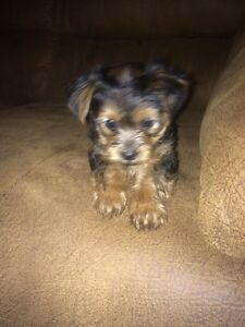 7 week old yorkies