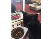 British black shorthair kitten