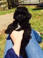 Adorable Tiny Toy Maltipoo Puppies for sale 2 black males left!
