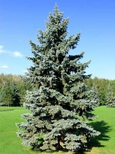 LOOKING TO BUY 15' - 20' Spruce/Scotch Pine/Jack Pine