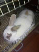 Male Rabbit To A Good Home