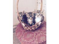 9 week old kittens