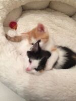 Little Ragdoll cross Kittens - Extremely softy cutie (3 lefts)
