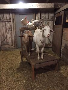 3 goats Nubian x sannen  London Ontario image 1
