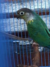 Blue Yellowsided Conure Male Kellyville The Hills District Preview