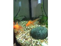 Free oranda goldfish to loving home