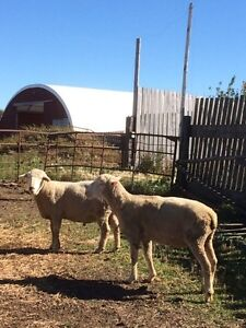 3 Purebred Rams for sale