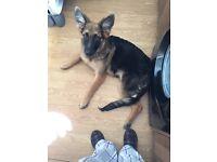 German shepherd bitch puppy