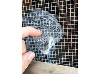 Bonding pair of African Grays