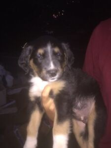 Gorgeous 3 month old border collie cross with black lab