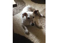 Charlie jack Russell dog