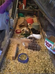AMAZING guinea pig family+ giant indoor&outdoor cages
