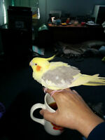 3-1/2 to 4 year old Cockatiel to be rehomed