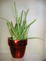 Shiny Red Ceramic with Aloe Vera Plants in a Plastic Pot