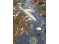 Selling all fish big and small koi sturgeon all colours