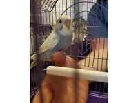 Hand tame baby budgie 8 weeks old
