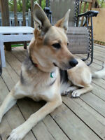 9yr. old Female German Sheppard Free to Loving Home