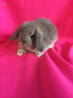 ♥♥♥ The Bouncing Bunny Mini lop Hutch Package ♥♥♥ Londonderry Penrith Area Preview