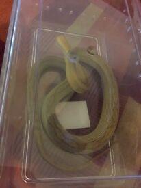 Young corn snake stripe