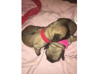 Kc registered adorable pug puppies