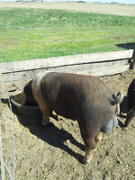 ****SOLD PPU****Breeding group Boar and two Gilts