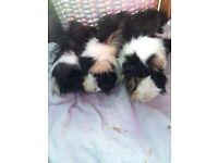 Guinea pigs X 3