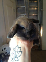Pure Holland Lop babies