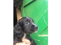 Gorgeous Sproker puppy for sale!