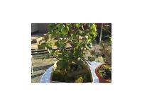 Garden plant Bonsai