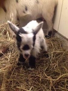 2 days old miniature  Nigerian dwarf buckling
