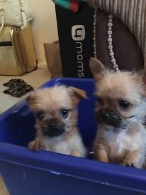 Female chi shi puppy last of litter ready now