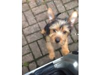 YORKIE PUP 3 MONTHS OLD