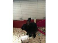 Mini Rex buck and Indoor Hutch