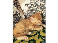 All Gone! Golden striped Ginger Kittens
