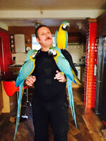 Two Silly Tame Blue And Gold Macaw