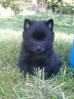 Registered Schipperke pup HAS FOUND A HOME , NO LONGER FOR SALE