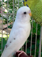 Budgie Couple for Sale