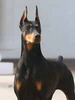 Looking for a Doberman, top $$$