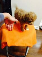 TOY MALE POODLE