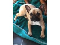 14month old female french bulldog