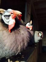 Guinea keets and silkie chicks