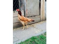 Pure aseel hen for sale