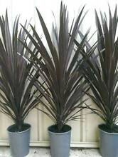 Cordyline red sensations plants tropical Perth tree Landsdale Wanneroo Area Preview