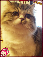 7-year old Persian give away