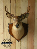 Tête de Chevreuil Taxidermie Deer Head Taxidermy