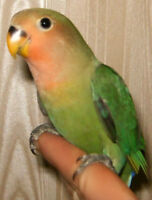 Adorable young hand tamed peach faced Lovebirds for sale